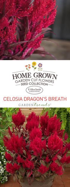 Award winning Celosia Dragon's Breath. Great choice for beginner gardeners! The unique green-red foliage and blazing-red, gorgeous flowering plumes are beautiful in cut flower arrangements, containers, beds and large landscapes. More red foliage and flower plumes will be prevalent under stress. #gardentrends #flowergarden #flowers #celosia #pallensmith