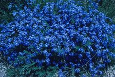 Lechenaultia biloba. Colorful Shrubs, Colorful Flowers, Blue And Purple Flowers, Blue Green, Gothic Garden, Water Wise, Growing Flowers, Native Plants, Green Leaves