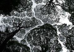 Tall trees in Tasmania - by Angela Jewell