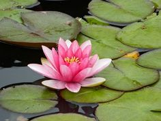 lilly flower in pond