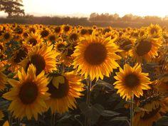 https://flic.kr/p/gYozt | Girasoli dominante rossa | Sunflowers.
