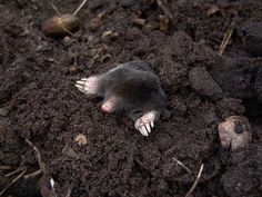 Everything you should know about the mole. The mole is a small, burrowing mammal that lives underground. These interesting animals are considered pests. Moles In Yard, Taupe, Old Farmers Almanac, Outdoor Wedding Photography, Engagement Photography, Interesting Animals, Interesting Stuff, Background For Photography, Gardens