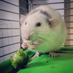 I love veggies! Does that make me weird? Gerbil, Hamsters, Rodents, Cute Small Animals, Animal Articles, Cute Rats, Fluffy Animals, Chinchilla, Parrots