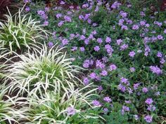 'Princess Dark Lavender' verbena with 'Marc Anthony' liriope... I like the color combination