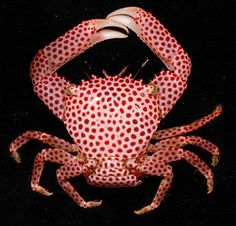 This is Trapezia rufopunctata, a small and brightly coloured species of crab of the Maldives, Polynesia.