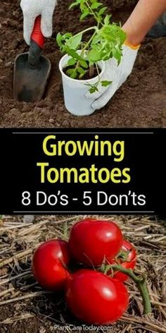 Over time we all learn tips and tricks which help us grow our vegetables, color gardens, landscape and even the lawn. Little things like don't plant unless the soil is above X degrees. Tomatoes have…MoreMore #VegetableGardening