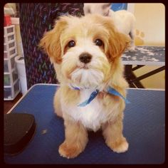Maltipoo puppy #spawpetgrooming