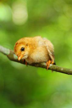 chick Chicken Art, New Trends, Cute Animals, Pets, Reading, Friends, Books, Pretty Animals, Amigos