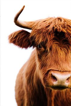 Cute Baby Cow, Baby Cows, Cute Cows, Highland Cow Art, Highland Cattle, Farm Animals, Animals And Pets, Cute Animals, Cow Pictures