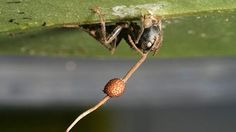 Zombie Fungi Control and Then Kill Ant Hosts