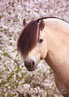 Gorgeous Fjord horse with pink flower background. Love that mane! Dream Stallion Legolas ~ Irene Gams