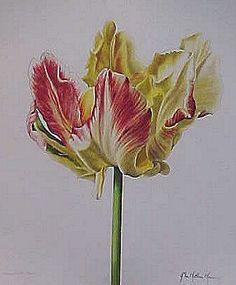 John Matthew Moore - Tulipa Libertto Parrot Graphic