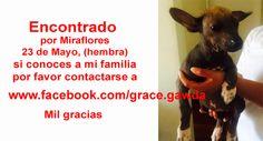 Encontrado por Miraflores 23 de Mayo, (hembra) si conoces a mi familia por favor contactarse a https://www.facebook.com/grace.gawda  Mil gracias