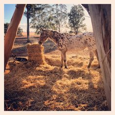 Morning Hangs Photo credit to: Nat Maybes‎ Valley Road, Horse Property, Thoroughbred Horse, Dark Star, Living Environment, Hanging Photos, Appaloosa, Horse Breeds, Beautiful Horses