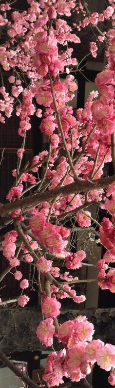 pink cherry blossoms - favorite tree