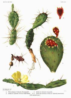 botany cactus botanical illustration