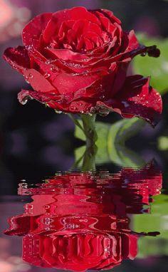 Discover & share this Animated GIF with everyone you know. GIPHY is how you search, share, discover, and create GIFs. Rosas Gif, Rose Drawing Tattoo, Emoji Pictures, Flowers Gif, Rosa Rose, Desert Rose, Flower Wallpaper, My Flower, Beautiful Roses