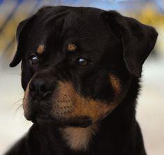 Rottweiler, CH Cammcastle's Friar Tuck