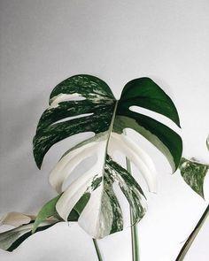 Amazing leaf of Monstera borsigiana variegata! Phot Amazing leaf of Monstera borsigiana variegata! Monstera Deliciosa, Green Plants, Tropical Plants, White Plants, Plantas Indoor, Decoration Plante, Best Indoor Plants, Indoor House Plants, Indoor Gardening