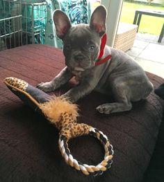 Harley, the Blue French Bulldog Puppy❤