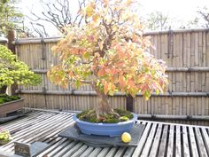 Bonsai of Cydonia Sinensis which is aound 80 years old
