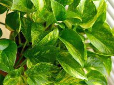 Scindapsus es una planta resistente que crece bien en la sombra, soporta bajas temperaturas y purifica el aire, liberándolo del monóxido de carbono, tolueno y benceno.