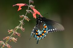Pipevine Swallowtail. Photo by Bill Horn.