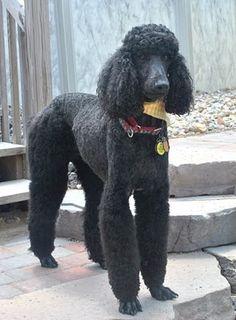 """""""Kramer""""  - a Standard poodle"""