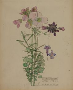 GLAHA 41028: 'Cuckoo Flower, Chiddingstone' April 1910 - click to view larger image