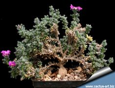 Trichodiadema bulbosum - The Trichodiadema bulbosum is a South African succulent plant also known as the African Bonsai. Over time, it will slowly develop a thickened root system or caudex which is highly prized.
