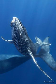 Gaby Barathieu. Spectacular photo of a curious baby humpback! <3 <3