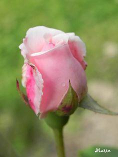 Rosa 'Gloire de Dyon' in knop