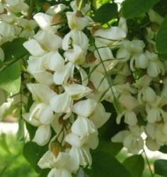 Krishenka : Acacia Flowers In Tempura Batter Tempura Batter, Acacia Honey, Botany, White Flowers, Seeds, Canning, Fruit, Garden, Hungary