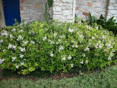 """These are my Indian Hawthorne. They were some of the first shrubs I put in 10 years ago when I bought the house. They're very slow growing and love the sun and are drought tolerant and when they're not in bloom, they make these big green pillow shapes in front of the house to soften all the straight lines."""
