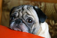 cute pug face pics eyes closeup If more than a few of these points apply to you. then there's straight up no denying that you're indeed a crazy pug person! Cute Pugs, Cute Puppies, Funny Pugs, Pug Pictures, Pictures Images, Pug Pics, Free Images, Dangerous Dogs, Education Canine