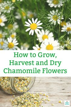 How to Harvest Chamomile and Dry Chamomile Flowers Chamomile Growing, Organic Horticulture, Organic Gardening Tips, Vegetable Gardening, Flower Gardening, Veg Garden, Fruit Garden, Flowers Garden, Summer Plants
