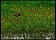 Bronze winged Jacana [Pic: Sushil Katre]