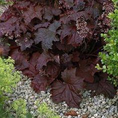 Heuchera Palace Purple Seeds (Heuchera Micrantha) 50+Seeds - Under The Sun Seeds  - 2