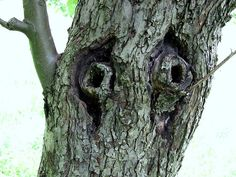 Tree eyes      The old apple tree - Piensk (Lower Silesian Voivodeship, in south-western Poland)