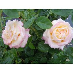 Mea Nursery All Time Favorites Rose Peace-60006 at The Home Depot $11