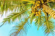 Can coconut oil cure Alzheimer's - There is evidence for lower incidence of dementia in cultures that include coconut products in their diet.