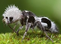 One of the velvet ants ( actually a ground-loving wasp)