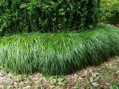 Detailed description of the Liriope (Liriope muscari) 'Emerald Cascade' cultivar/variety. Backyard Plants, Backyard Landscaping, Indoor Plants, Part Shade Plants, Liriope Muscari, Indoor Vegetable Gardening, Easy Care Plants, Border Plants, Ground Cover Plants