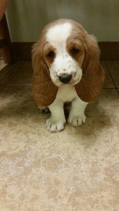 My basset hound puppy Penny Bella