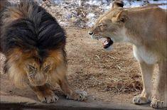 Este papá león decidió castigar asuhijo por portarse mal, pero laleona llegóy...