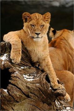 Lion by Svenimal