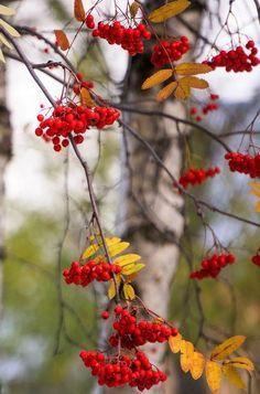 Фотография Осенние Виды, Фоновые Изображения, Акварельные Картины, Ягоды, Листья, Природа, Осенние Листья, Осенний Пейзаж, Леса