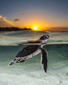 Yoga Ashtanga, Yoga Vinyasa, Yoga Yin, Sea Turtle Wallpaper, Cute Baby Turtles, Baby Animals, Cute Animals, Turtle Images, Marine Biology