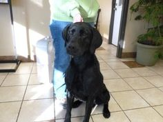 Petango.com – Meet Remmy, a 3 years 1 month Retriever, Labrador / Mix available for adoption in ABERDEEN, SD