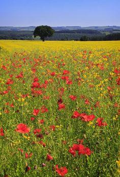 Poppy Field, Northumberland